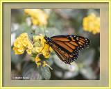 Butterfly_62319_CC_AI_Frame_w.jpg