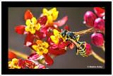 Wasp_on_Tigers_Tail_butterfly_bush_7219_b_CC_AI_Frame_w.jpg