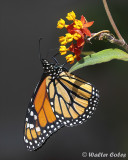 Butterfly_Monarch_8619_4_CC2_Studio2_w.jpg