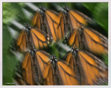 Butterfly_Monarch_72619studio_Lens_Effect2_Frame_w.jpg