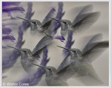 Hummingbird_32719_100400_II_2_Lens_Effects_Frame_w.jpg