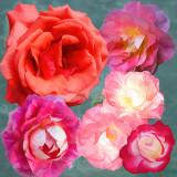2020 Roses 6 36X36 Simplify w.jpg