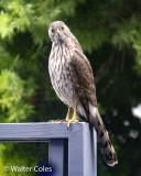 Hawk backyard 5-10-20 (1) CC S2 w.jpg