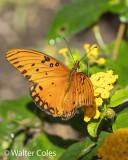 Butterfly 7-12-20 (2) CC S2 w.jpg