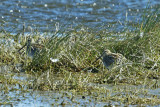 Charadriiformes: Scolopacidae - Sandpipers, Snipes and allies
