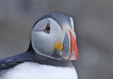 Atlantic Puffin (Fratercula arctica) Norway - Vardø - Hornøya
