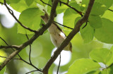 Passeriformes: Phylloscopidae - Leaf Warblers and allies