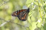 Lepidoptera: Butterflies and moths