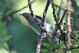 Passeriformes: Sylviidae - Sylviid Babblers