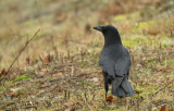 Zwarte Kraai / Carrion Crow