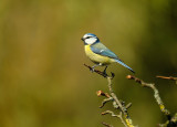 Pimpelmees / European Blue Tit (Tuinhut Arjan Troost)