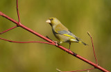 Groenling / European Green Finch (Tuinhut Arjan Troost)