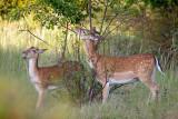 Damhert / Fallow Deer