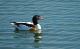 Bergeend / Shelduck