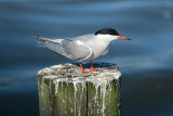 Visdief / Common Tern (de Starrevaart)