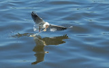 Kokmeeuw / Black-headed Gull (de Starrevaart)
