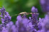 Distelvlinder (Katwijk)
