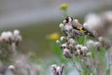 Putter / European Goldfinch