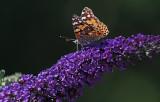 Distelvlinder (Hengelo)
