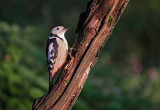 Middelste Bonte Specht / Middle Spotted Woodpecker)(hut Arjan Troost)
