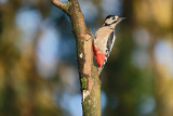 Grote Bonte Specht / Great Spotted Woodpecker (hut Arjan Troost)