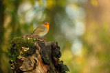 Roodborst / Red Robin