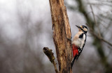 G.B.Specht / Great Spotted Woodpecker (HBN-hut8)