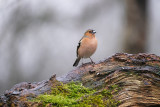 Vink / Common Chaffinch (HBN-hut8)