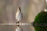 Zanglijster / Song Thrush (HBN-hut8)