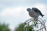 Houtduif / Common Wood Pigeon (Laurapark-Hengelo)