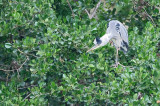 Blauwe Reiger / Grey Heron (Laurapark-Hengelo)