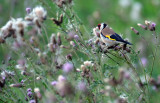 Putter / European Goldfinch (de Oelemars)