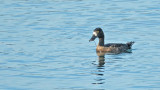 Topper / Greater Scaup (de Oelemars)