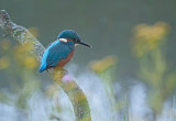 Ijsvogel / Common Kingfisher (de Oelemars)