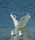 Grote Zilverreiger / Western Great Egret (de Oelemars)