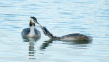 Fuut / Great Crested Grebe (de Oelemars)