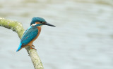 IJsvogel / Common Kingfisher