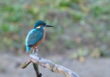 IJsvogel /Common Kingfisher (de Oelemars)