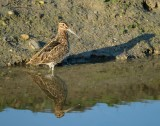 Watersnip / Common Snipe (de Oelemars)