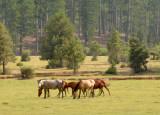 Wild horses of Taurus Mountains, Turkey