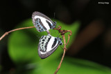 Green-banded Line-blue Butterfly