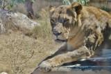 Female Angola lion - Panthera leo melanochaita