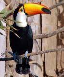 Toco toucan