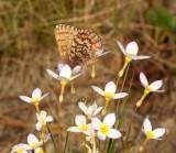 Butterflies on Bluets