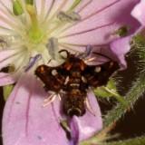 Hodges#6076 * Spotted Thyris * Thyris maculata