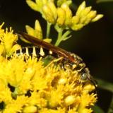 Thynnidae : Thynnid Wasps