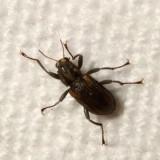 Elmidae : Riffle Beetles