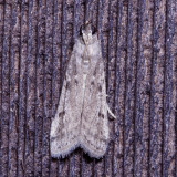 Pyralidae : 5651 - 6075 : Phycitinae - Peorinae