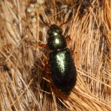 Necrobia rufipes * Red-legged Ham Beetle