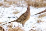Fasan / Pheasant / female